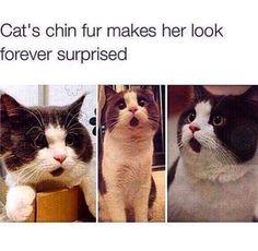 Forever Surprised Cat