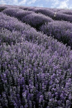 """Lavender is known as """"Nature's tranquilizer""""."""