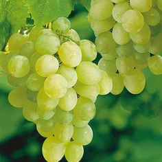How to grow grape vines: Growing Seedless Grapes