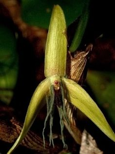 """Bulbophyllum nocturnum - """"orchid of the night""""    This rare orchid blossoms only after 10 pm, and closes its petals before dawn. Scientists believe that among over 25 000 different species of orchids - this is the only species that blossom at night."""