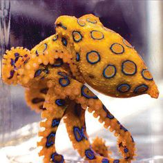 Blue Ring Octopus  : More Pins Like This At FOSTERGINGER @ Pinterest