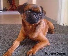 i love this breed petit brabancon  aka smooth brussels griffon