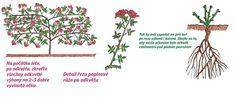 Strihanie popínavých ruží