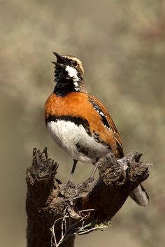 Chestnut-breasted Quail-thrush (Cinclosoma castaneothorax castaneothorax),male, @ sohnjoo's photography)
