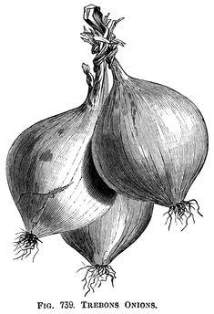 Trebons Onions ~ Free Vintage Clip Art Illustration