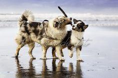 Pastores Australianos jugando en la playa con un palo