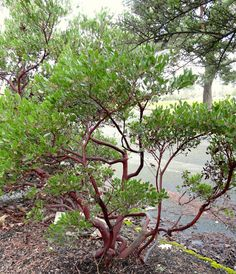 Arctostaphylos patula is a species of manzanita known by the common name greenleaf manzanita. This manzanita is native to western North America where it grows in coniferous forests at moderate to high elevations.