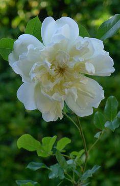 Hybrid Bracteata Rose: Rosa 'Alba Odorata' (Italy, 1834)