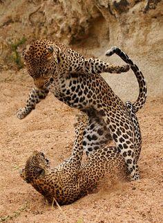 Leopard   (10 Beautiful Photos)