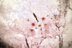 SAKURA SAKU 2011 | Flickr - Photo Sharing!