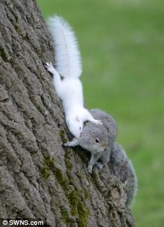 One of the albino squirrels plays with its mother
