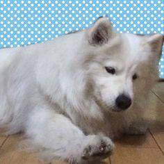 よかったらくれませんか? Give me #ワンコ #わんこ🐶 #わんわん #ペット #samoyed #samoyedo #samoyedlove #pet #petsagram #instadog #ilovemydog #love #lovelydog #萨摩耶#ファメイ#狗#🐶#犬#dog#doglover #dogstagram #doglife#愛犬#shanghai #上海#食べ放題 #eat