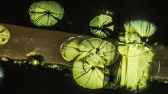 The disk-like fracture inclusions in peridot are descriptively called lily pads.