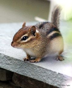 Cute Wild Animals, Animals And Pets, Funny Animals, Small Animals, Cute Squirrel, Squirrels, Hamsters, Rodents, Baby Chipmunk