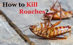 How to kill roaches fast? Different ways to avoid cockroaches. Get rid of roaches. Methods to prevent roaches. Remedies to eliminate roaches How To Kill Cockroaches, Household Pests, Best Pest Control, Bees And Wasps, Humming Bird Feeders, Garden Guide, Lawn And Garden, Ants, Remedies