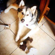 RIP Squeaky teddy Lady Leah won this round #leahthedog #malamute #killthesqueaker #squeakytoy #fluffy #woof#dogsofinstagram #alaskanmalamute #malamutesofinstagram #sleddog #snowdog #mygirl #cutie #funnydog #animalsofinstagram #petsofinstagram #petsofig #doggylove #pinknose #dogslife #dogoftheday #doglover #animallover #browneyedgirl #floof #doggo #pupper #pooch Snow Dogs, Alaskan Malamute, Dog Days, Funny Dogs, My Girl, Husky, Dog Lovers, Pets, Lady