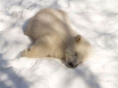 Sleepy bear ~ Kali, an orphaned polar bear, at the Alaska Zoo.