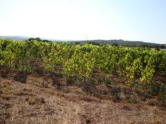 La vigna che ci dona un vermentino di Gallura genuino e naturale.  Azienda Caldosa. Arzachena. Sardegna