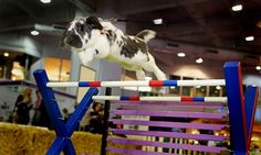 The rabbit Grand National at The London Pet Show.