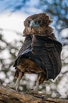 Bateleur - Look by johan barnard on Kinds Of Birds, All Birds, Birds Of Prey, Raptor Bird Of Prey, Pet Memorials, Spirit Animal, Beautiful Birds, Bald Eagle, Wildlife