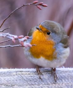 Ideas Robin Bird Friends For 2019 Cute Birds, Pretty Birds, Beautiful Birds, Animals Beautiful, Nature Animals, Animals And Pets, Cute Animals, Robin Vogel, Red Robin Bird