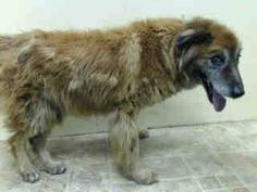 TO BE DESTROYED - 08/02/14 Brooklyn Center -P  My name is SIMBA. My Animal ID # is A1008393. I am a neutered male brown collie smooth and germ shepherd mix. The shelter thinks I am about 12 YEARS old.  I came in the shelter as a STRAY on 07/28/2014 from NY 11436, owner surrender reason stated was STRAY.