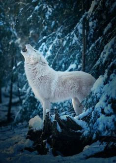 White Wolf Photo by ©Michael Schönberger Howling Wildlife Wolf Love, Arktischer Wolf, Lone Wolf, Wolf Howling, Wolf Pup, Wolf Photos, Wolf Pictures, Animal Pictures, Beautiful Creatures