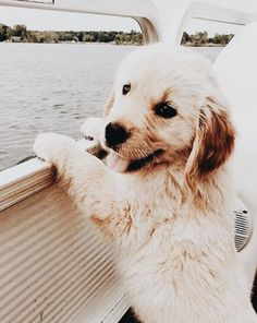 "Labrador retrievers, or ""Labs"" as they've become fondly known, are one of the most popular dog breeds of our time. Generally known and loved for their chee Baby Puppies, Cute Puppies, Cute Dogs, Dogs And Puppies, Labrador Puppies, Doggies, Puppy Goldendoodle, Labrador Retrievers, Retriever Puppy"