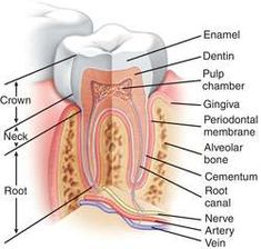 Looking for online definition of tooth morphology in the Medical Dictionary? What is tooth morphology? Meaning of tooth morphology medical term. What does tooth morphology mean? Dental Assistant Study, Dental Hygiene Student, Dentistry Education, Dental Anatomy, Medical Dictionary, Dental World, Dental Technician, Dental Health, Nursing