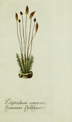 Jarhg.4 (1791) - Plantarum indigenarum et exoticarum icones ad vivum coloratae, oder, Sammlung nach der Natur gemalter Abbildungen inn- und ausländlischer Pflanzen, für Liebhaber und Beflissene der Botanik / - Biodiversity Heritage Library