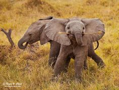 Play behavior in elephant calves differs between the sexes; females run or chase each other, while males play-fight. Females remain in their family groups for life but males leave to live a solitary life or join all-male groups.