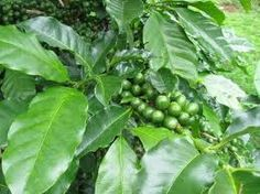 """""""Green Coffee Beans & Their Health Benefits!""""  Green coffee their health benefits. Helps to lose weight., diabetes, blood pressure. READ MORE @ www,organic4greenlivings.com"""