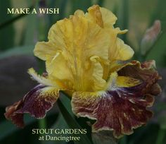 Iris MAKE A WISH | Stout Gardens at Dancingtree