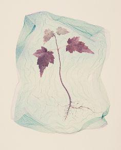 Polaroid emulsion lift: 2008 Maple Seedling by John Fobes