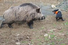 Jagdterrier baying a boar. Pig Hunting Dogs, Boar Hunting, Big Game Hunting, World Biggest Snake, Unusual Dog Breeds, Hog Dog, North American Animals, Hunting Tattoos, Wild Boar