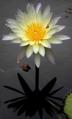 water lily flower / water lily / reflections