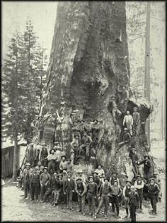 Boole Tree and loggers, Photo: San Joaquin Valley Library - Destroying the earth tree by tree. Giant Sequoia Trees, Giant Tree, Big Tree, Vintage Pictures, Old Pictures, Old Photos, Weird Trees, Unique Trees, Old Trees