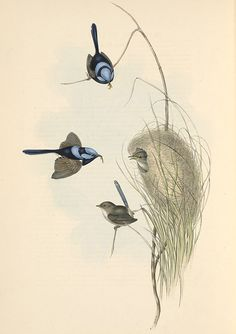 John Gould, The Birds of Australia (1848)