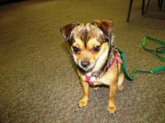 DeeDee is an adoptable Pomeranian Dog in St. Clair, MI. Meet DeeDee! She is a very sweet Pomeranian/Chihuahua mix, approx. 10 months old. She is up to date on all vaccinations, heartworm negative, & w...