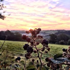 Early morning blackberries. England
