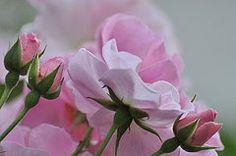 Rosas Art - June Roses 1  by Gerald Hiam