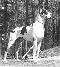 CH BMW Ruffian Harlequin Great Danes, Big Friends, Black And White Dog, Athletic Body, Gentle Giant, Apollo, Dog Breeds, Bmw, Horses