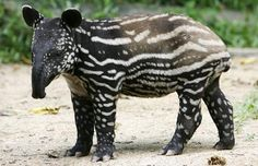 """Young tapirs have a pattern of spots and stripes to camouflage them in the dappled forest. Adult Malayan tapirs are black with a white """"saddle""""  Picture: AP"""