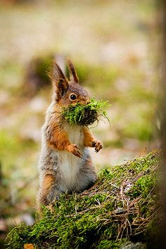 Red squirrels eat moss.