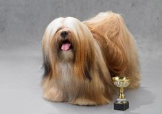 Cachorro Lhasa Apso