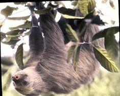 Two-toed sloth, Panama 1928