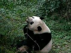 File:Pandas playing 640x480.ogv