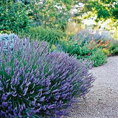 I want to plant this one day. Lavender - This plant has it all: It looks great, it smells wonderful, and it's as tough as nails (as long as it's not too wet). Enjoy the blue, lavender, purple, or white flowers in summer. They're great for drying and using in crafts, and even cooking with.