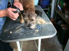 Border Terrier Grooming - YouTube