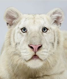Ohjas, a one-year-old male snow white Bengal tiger.